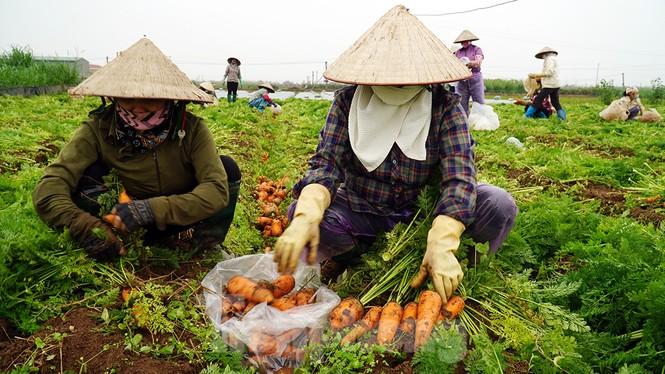 Gỡ lệnh phong tỏa, nông dân ở Hải Dương nườm nượp ra vườn nhổ bỏ nông sản  - ảnh 4