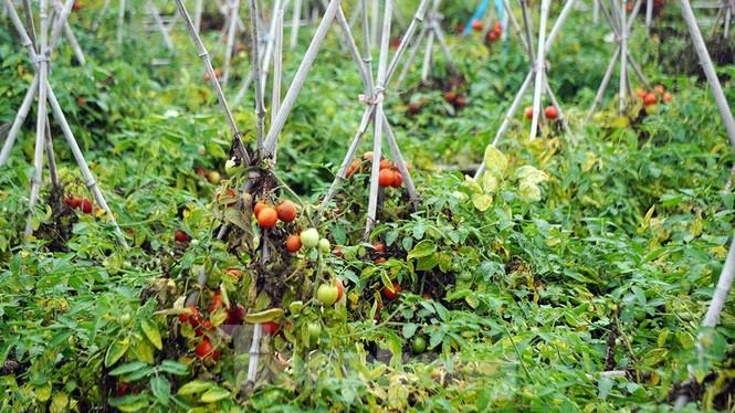 Gỡ lệnh phong tỏa, nông dân ở Hải Dương nườm nượp ra vườn nhổ bỏ nông sản  - ảnh 8