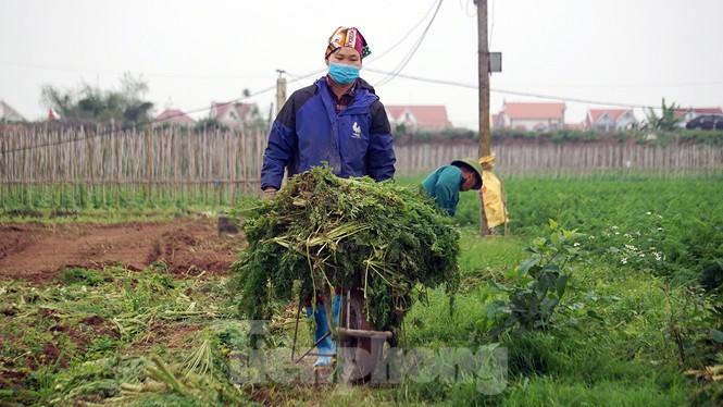 Gỡ lệnh phong tỏa, nông dân ở Hải Dương nườm nượp ra vườn nhổ bỏ nông sản  - ảnh 7