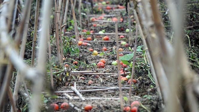 Gỡ lệnh phong tỏa, nông dân ở Hải Dương nườm nượp ra vườn nhổ bỏ nông sản  - ảnh 9