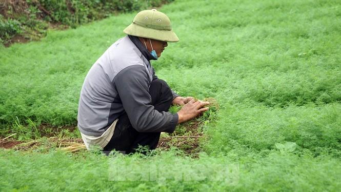 Gỡ lệnh phong tỏa, nông dân ở Hải Dương nườm nượp ra vườn nhổ bỏ nông sản  - ảnh 5