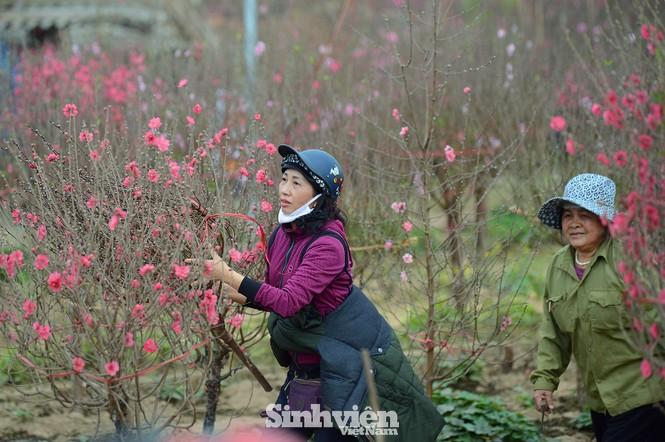 """Cận cảnh vườn đào Nhật Tân được giới trẻ """"Check-in"""" ngày cuối năm - ảnh 3"""