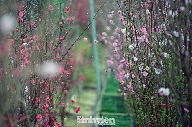 """Cận cảnh vườn đào Nhật Tân được giới trẻ """"Check-in"""" ngày cuối năm - ảnh 7"""