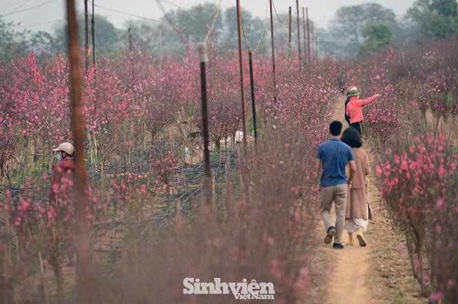 """Cận cảnh vườn đào Nhật Tân được giới trẻ """"Check-in"""" ngày cuối năm - ảnh 8"""