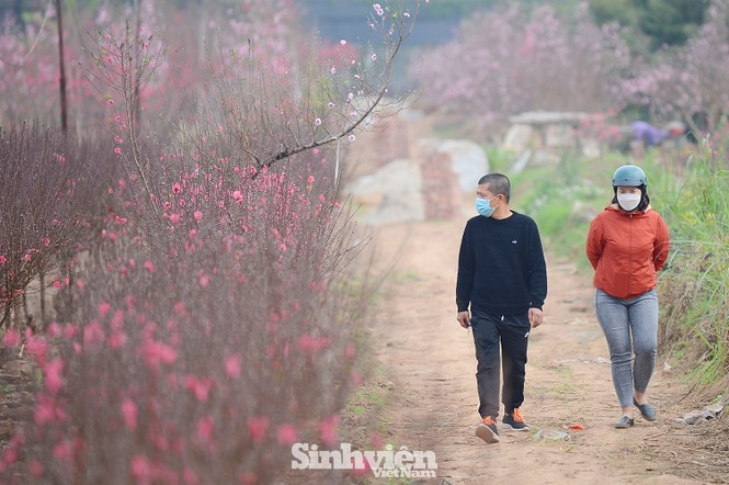 """Cận cảnh vườn đào Nhật Tân được giới trẻ """"Check-in"""" ngày cuối năm - ảnh 2"""
