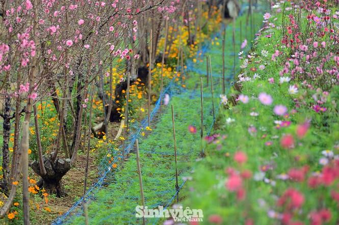 """Cận cảnh vườn đào Nhật Tân được giới trẻ """"Check-in"""" ngày cuối năm - ảnh 4"""