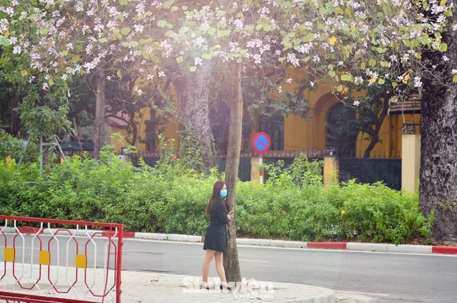 """Hoa ban Tây Bắc """"nhuộm tím"""" phố phường Hà Nội - ảnh 1"""