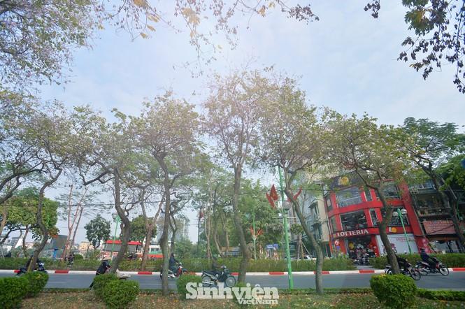 """Hoa ban Tây Bắc """"nhuộm tím"""" phố phường Hà Nội - ảnh 12"""
