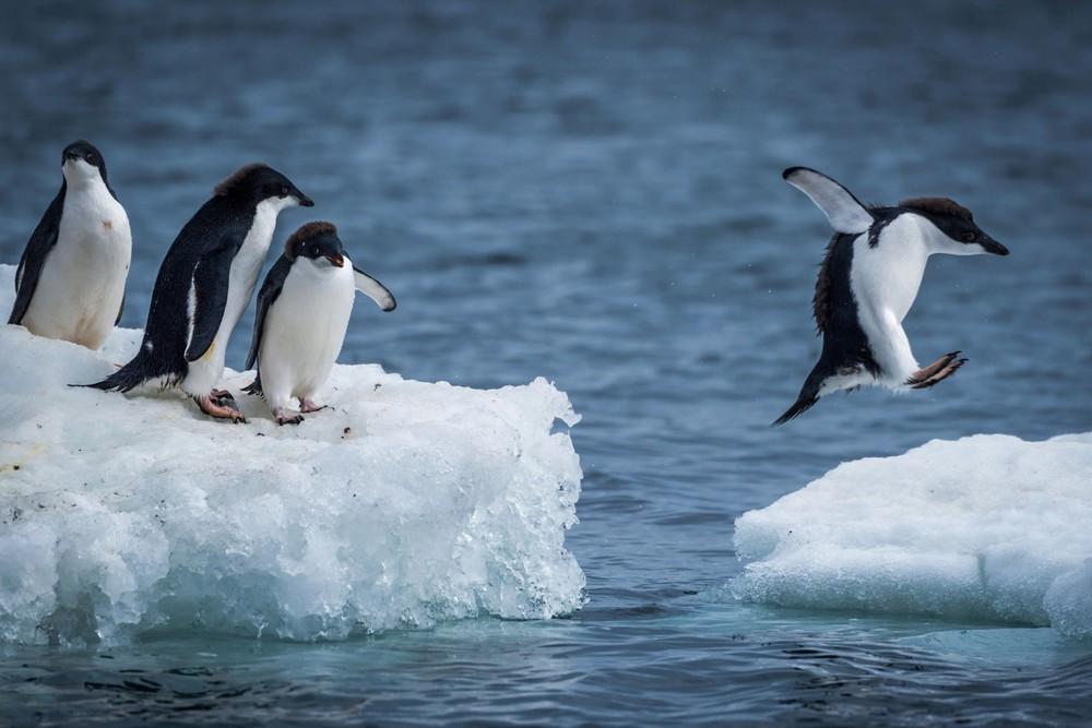 Tại sao bàn chân của chim cánh cụt không bị đóng băng?
