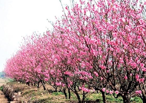 Nghệ An không có đào rừng, người dân thoải mái buôn bán