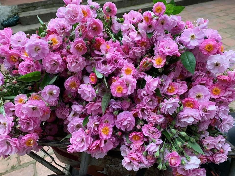 Thái Bình tồn hơn 200 tấn bắp cải, hoa hồng dại bung nở hút khách Hà Thành