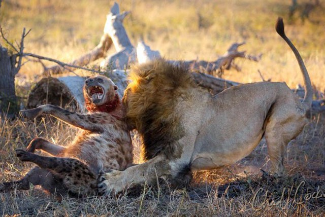 Linh cẩu chết thảm dưới nanh vuốt của sư tử - kết quả xổ số ninh thuận
