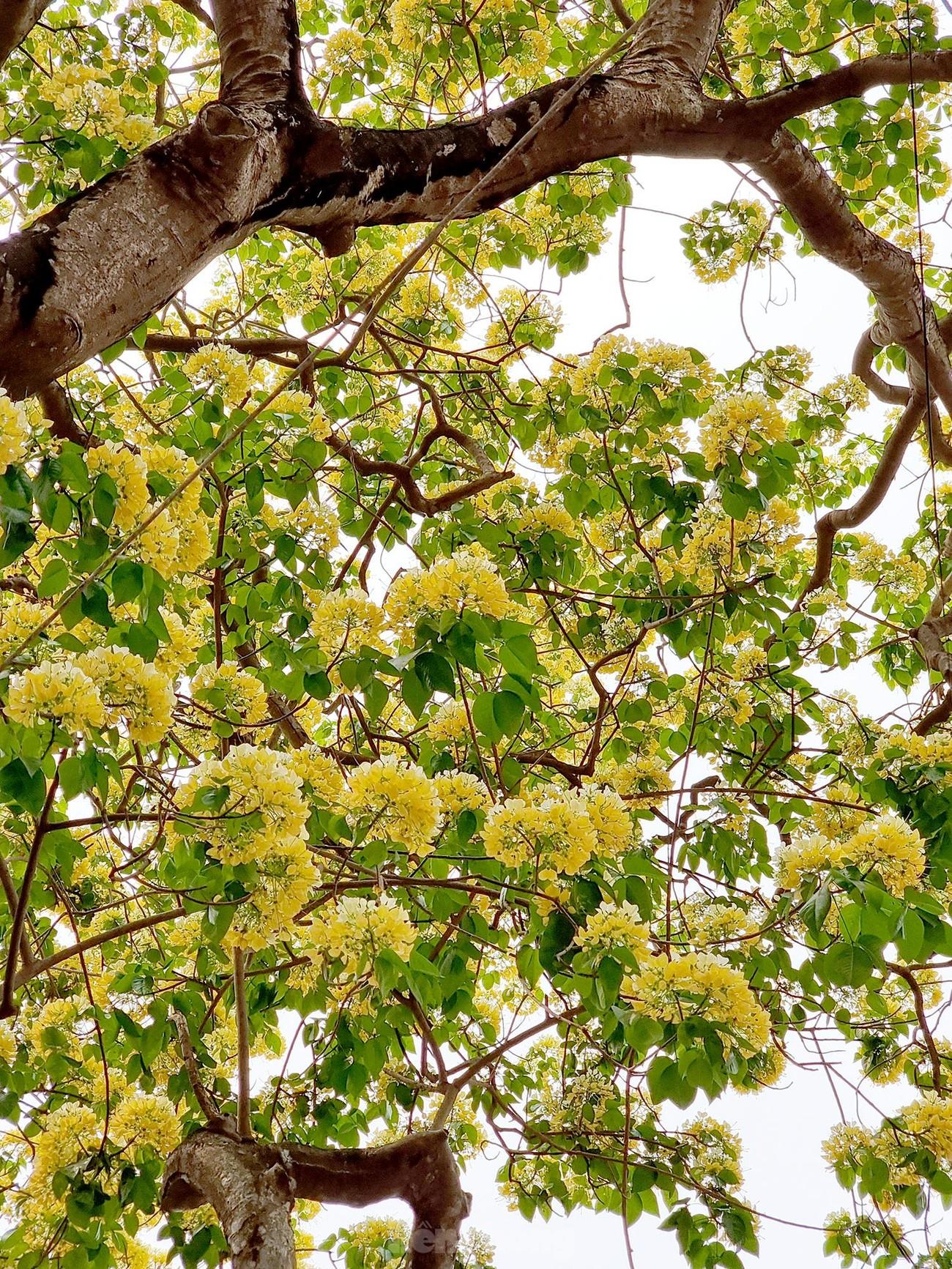 'Báu vật' 300 năm tuổi khoe hoa vàng rực giữa lòng Thủ đô ảnh 2