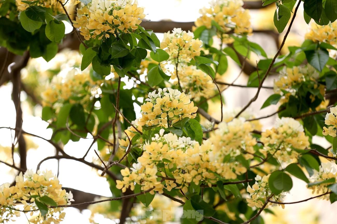 'Báu vật' 300 năm tuổi khoe hoa vàng rực giữa lòng Thủ đô ảnh 3