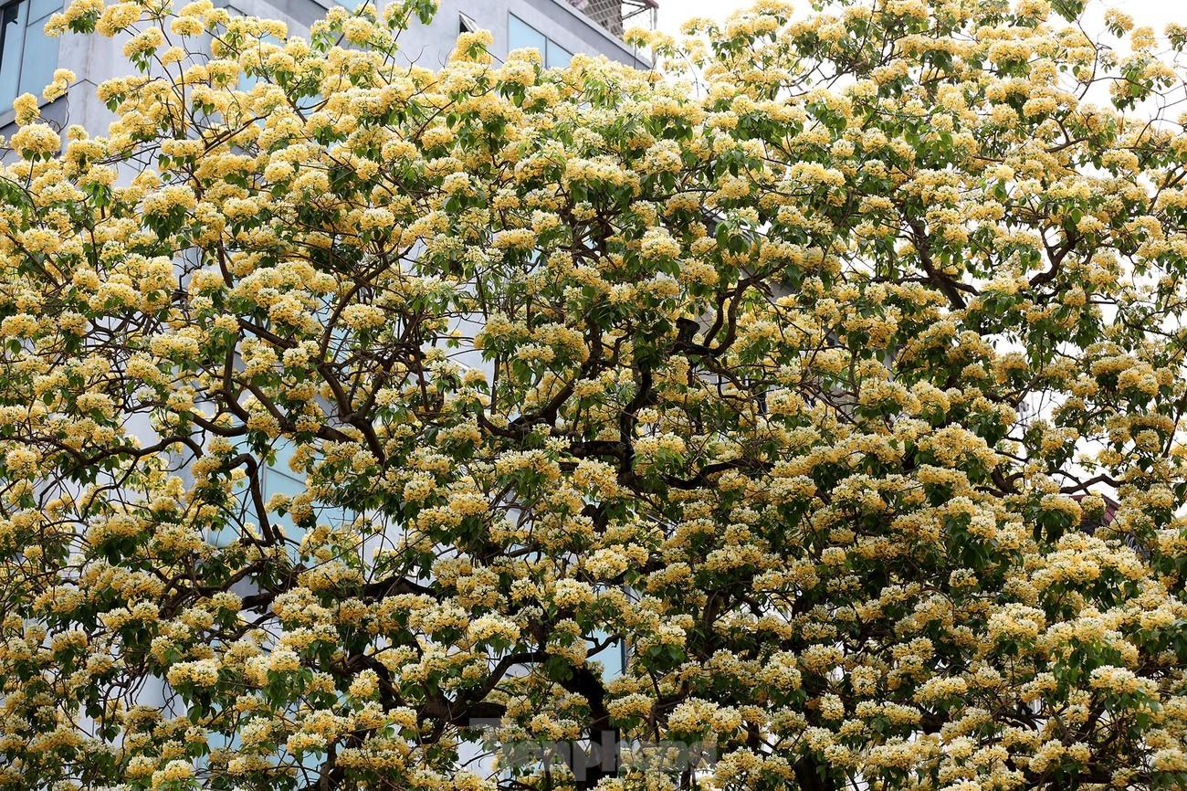 'Báu vật' 300 năm tuổi khoe hoa vàng rực giữa lòng Thủ đô ảnh 8
