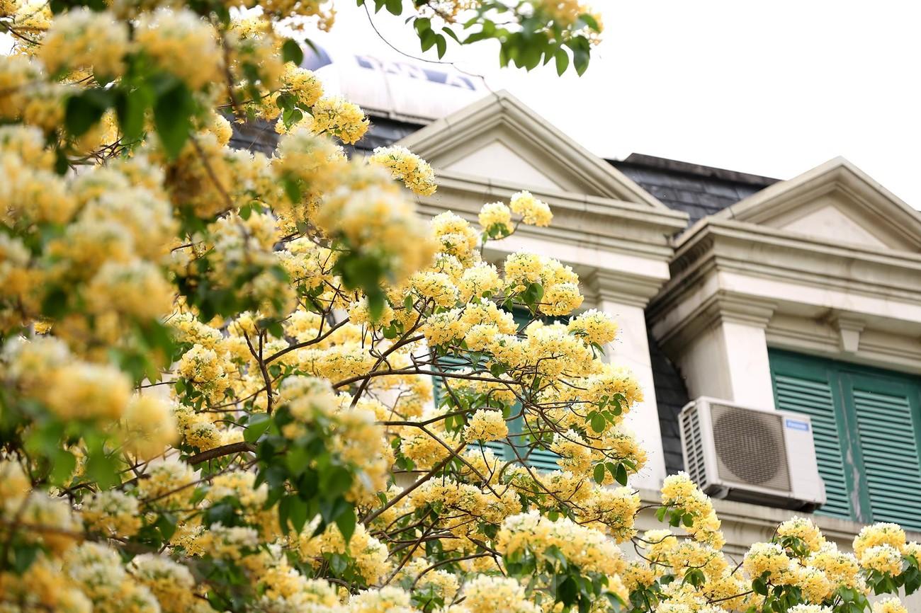 'Báu vật' 300 năm tuổi khoe hoa vàng rực giữa lòng Thủ đô ảnh 5