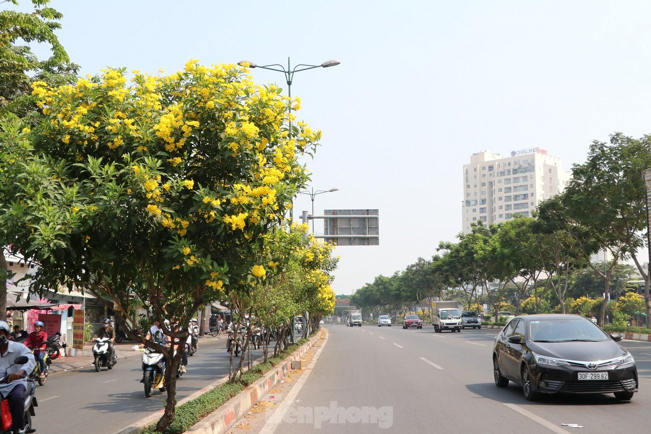 Hoa huỳnh liên nở vàng rực đường phố Sài Gòn ngày giáp Tết ảnh 1