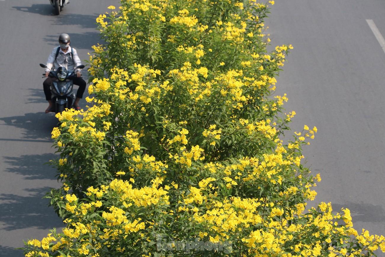 Hoa huỳnh liên nở vàng rực đường phố Sài Gòn ngày giáp Tết ảnh 4