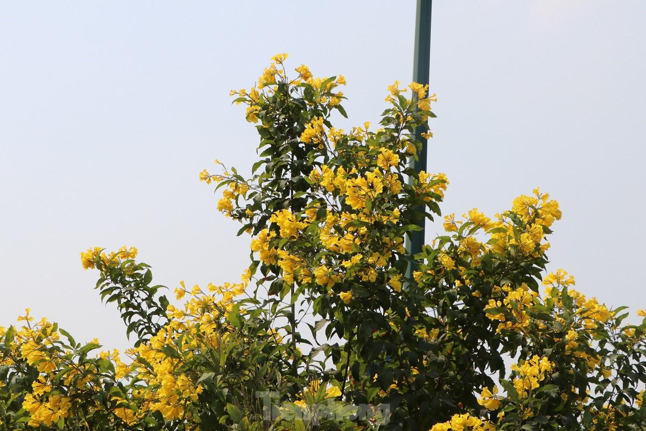 Hoa huỳnh liên nở vàng rực đường phố Sài Gòn ngày giáp Tết ảnh 5