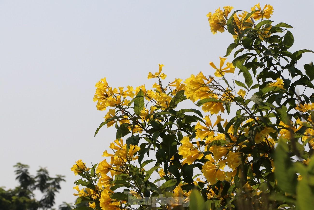 Hoa huỳnh liên nở vàng rực đường phố Sài Gòn ngày giáp Tết ảnh 6