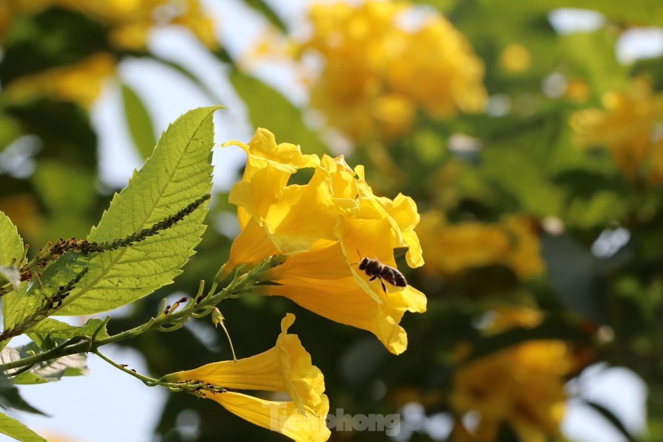 Hoa huỳnh liên nở vàng rực đường phố Sài Gòn ngày giáp Tết ảnh 9