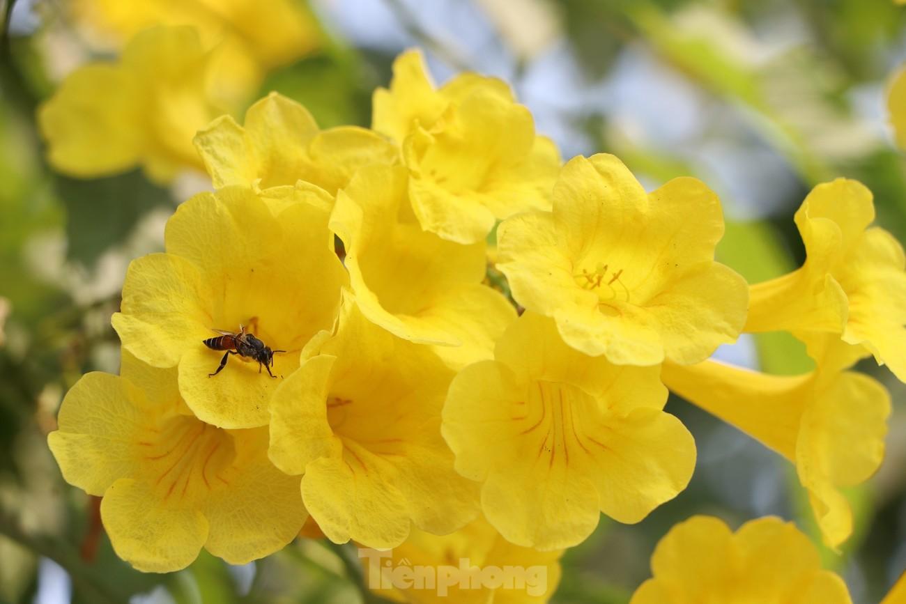 Hoa huỳnh liên nở vàng rực đường phố Sài Gòn ngày giáp Tết ảnh 10