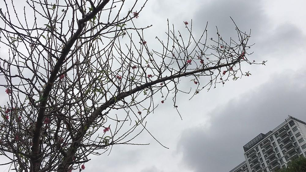 Hoa đào bung nở trong giá rét, khoe sắc trên phố Hà Nội ảnh 1