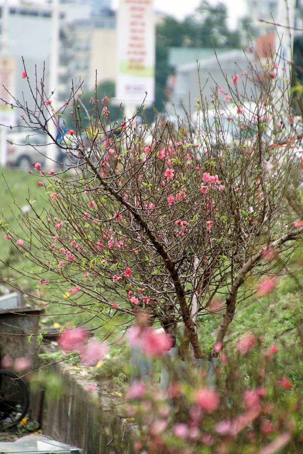 Hoa đào bung nở trong giá rét, khoe sắc trên phố Hà Nội ảnh 2