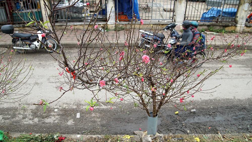 Hoa đào bung nở trong giá rét, khoe sắc trên phố Hà Nội ảnh 3