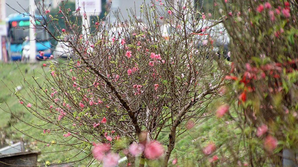 Hoa đào bung nở trong giá rét, khoe sắc trên phố Hà Nội ảnh 4