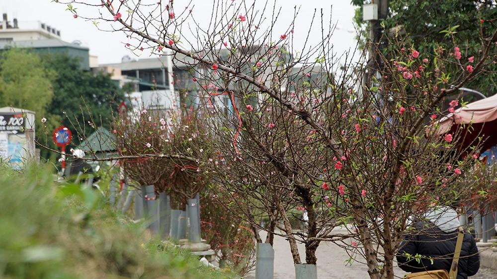 Hoa đào bung nở trong giá rét, khoe sắc trên phố Hà Nội ảnh 7