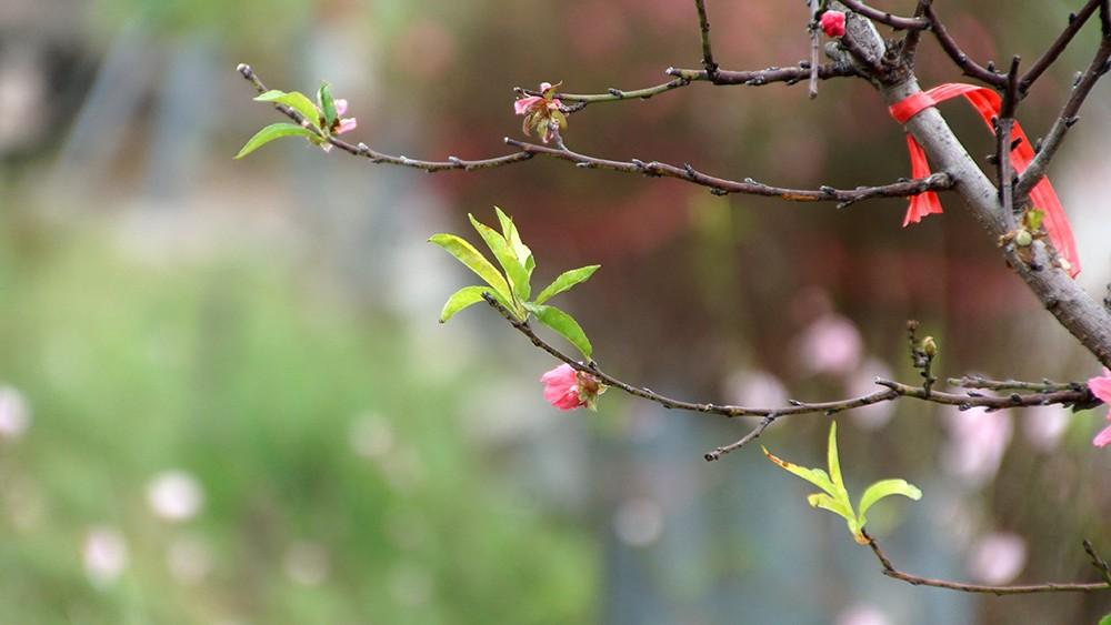 Hoa đào bung nở trong giá rét, khoe sắc trên phố Hà Nội ảnh 11