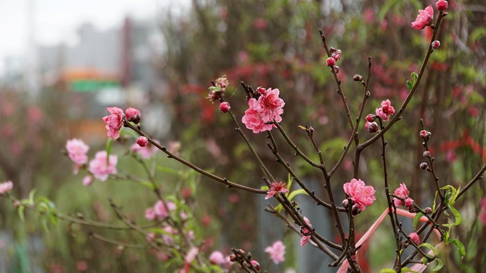 Hoa đào bung nở trong giá rét, khoe sắc trên phố Hà Nội ảnh 12
