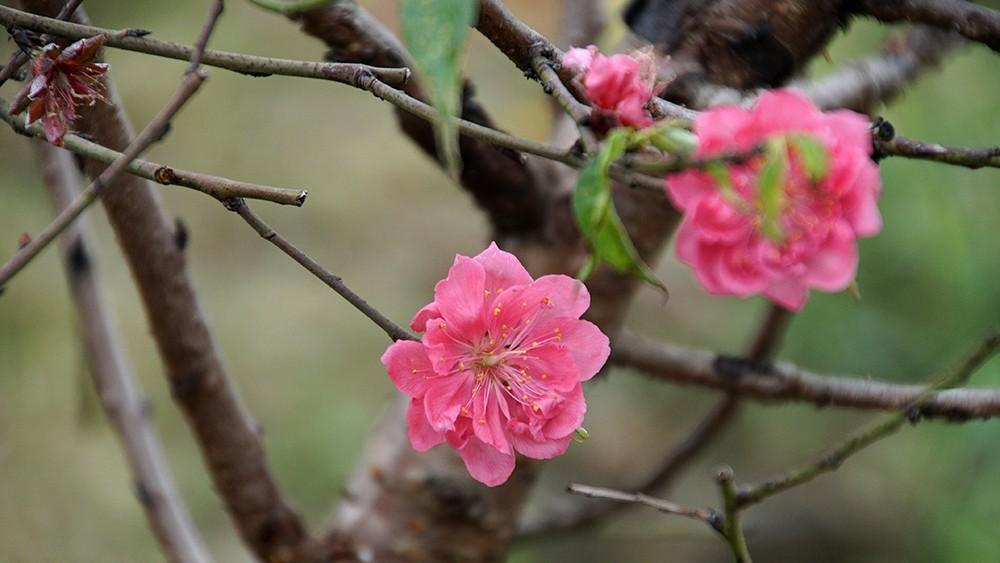 Hoa đào bung nở trong giá rét, khoe sắc trên phố Hà Nội ảnh 13