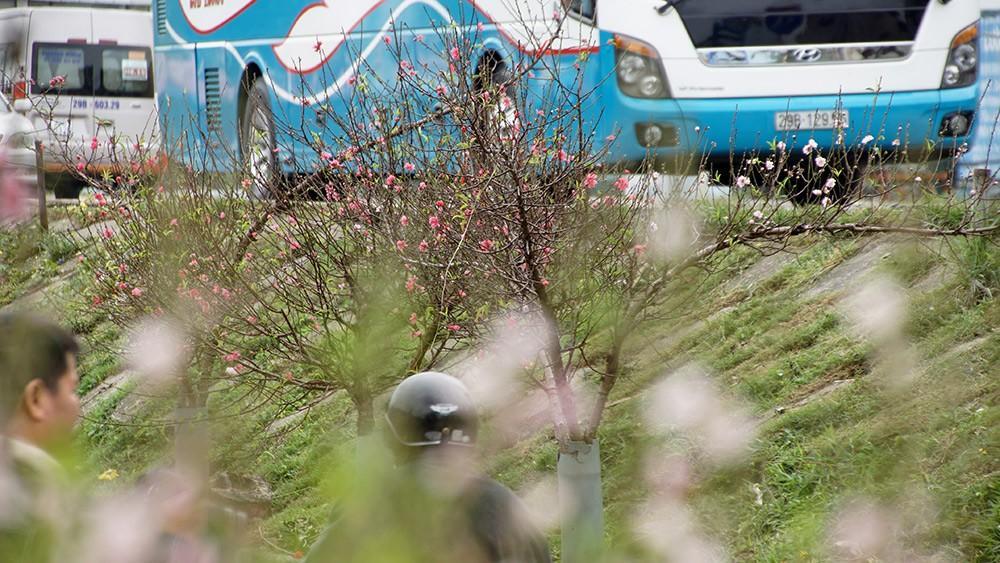 Hoa đào bung nở trong giá rét, khoe sắc trên phố Hà Nội ảnh 14