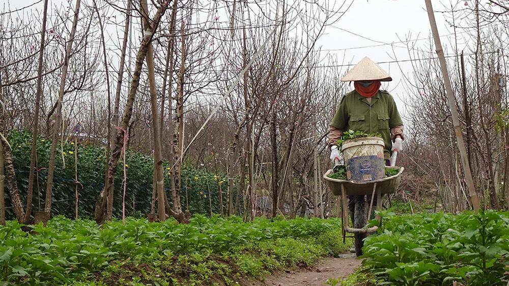 Đào nở sớm, nông dân thấp thỏm chờ Tết Kỷ Hợi ảnh 14