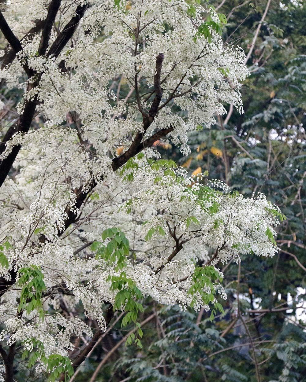 Hoa sưa nở bung trắng khoảng trời Hà Nội dịp thượng đỉnh Mỹ - Triều ảnh 8