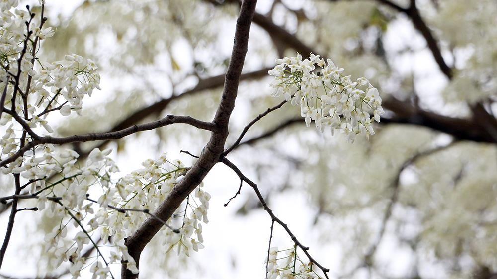 Hoa sưa nở bung trắng khoảng trời Hà Nội dịp thượng đỉnh Mỹ - Triều ảnh 11