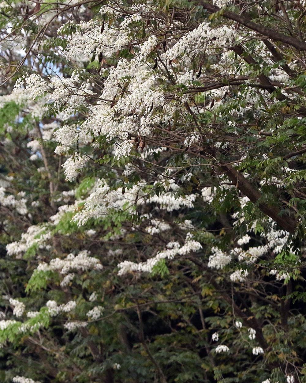 Hoa sưa nở bung trắng khoảng trời Hà Nội dịp thượng đỉnh Mỹ - Triều ảnh 14