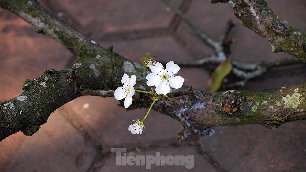 Người Hà Nội 'săn' hoa lê tiền triệu dịp rằm tháng Giêng ảnh 1