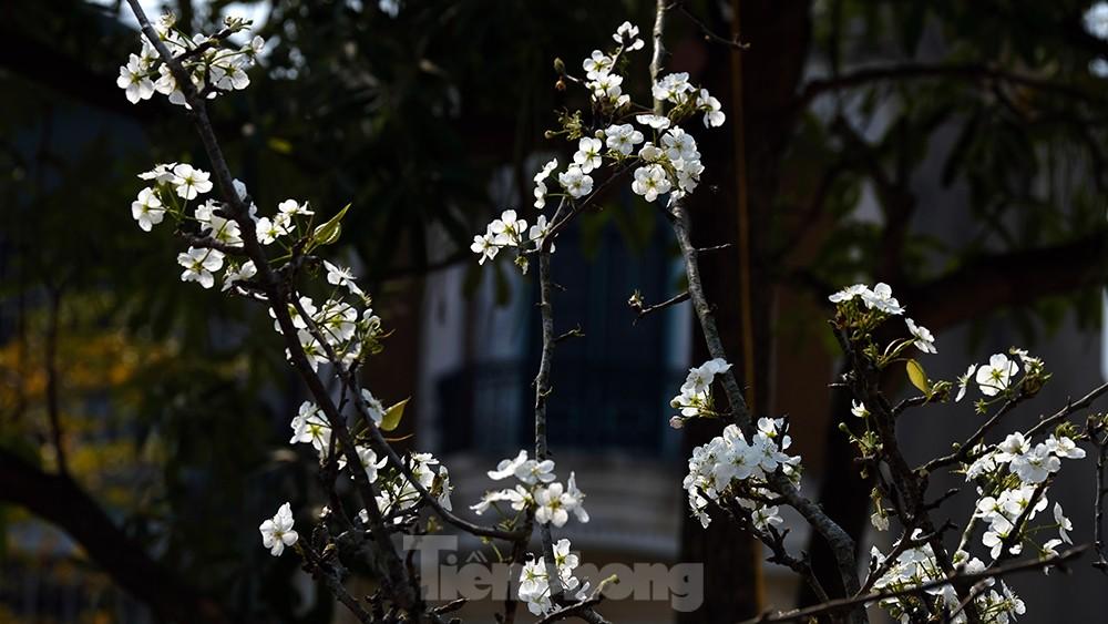 Người Hà Nội 'săn' hoa lê tiền triệu dịp rằm tháng Giêng ảnh 2