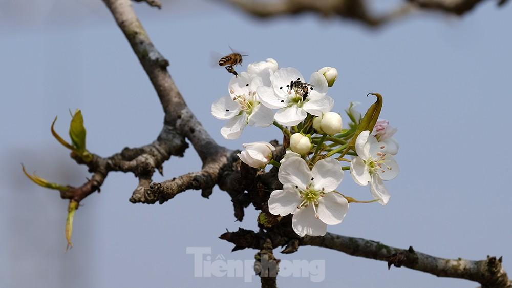 Người Hà Nội 'săn' hoa lê tiền triệu dịp rằm tháng Giêng ảnh 9