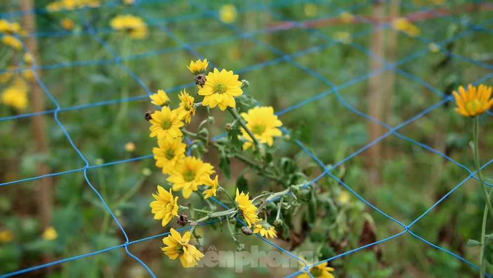 Hoa cúc nhuộm vàng cánh đồng trong nỗi xót xa của người nông dân ảnh 1
