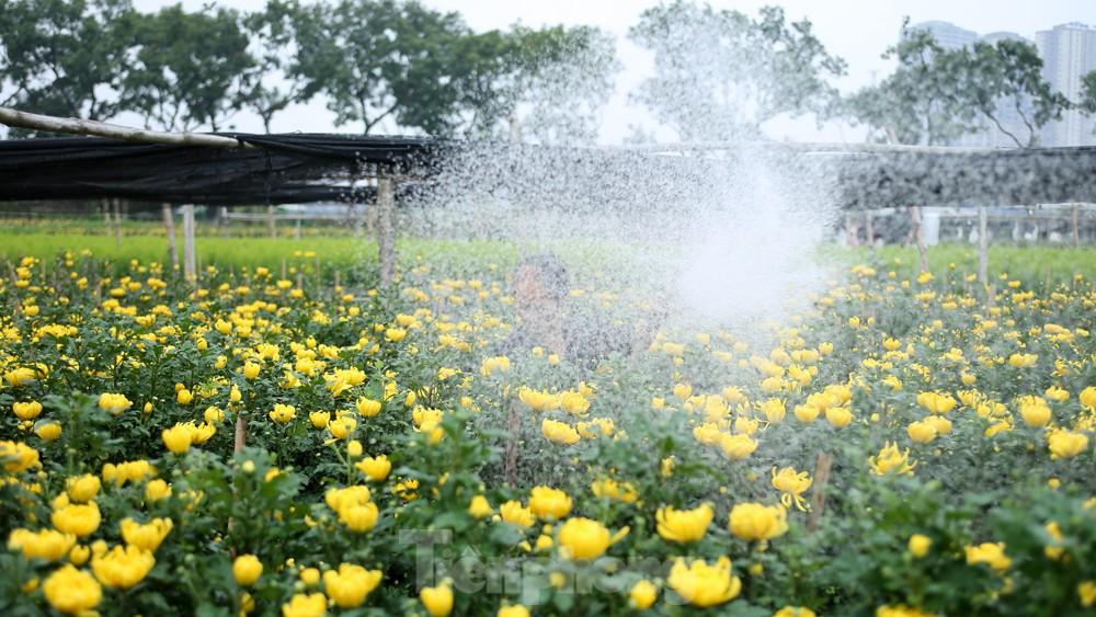 Hoa cúc nhuộm vàng cánh đồng trong nỗi xót xa của người nông dân ảnh 2
