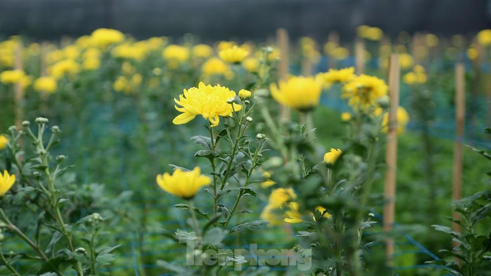 Hoa cúc nhuộm vàng cánh đồng trong nỗi xót xa của người nông dân ảnh 3