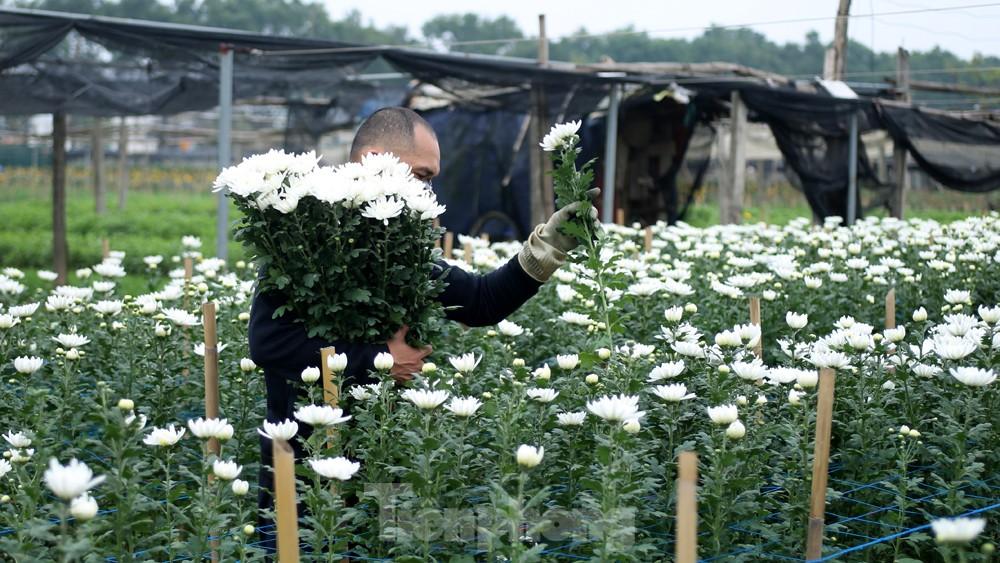 Hoa cúc nhuộm vàng cánh đồng trong nỗi xót xa của người nông dân ảnh 4