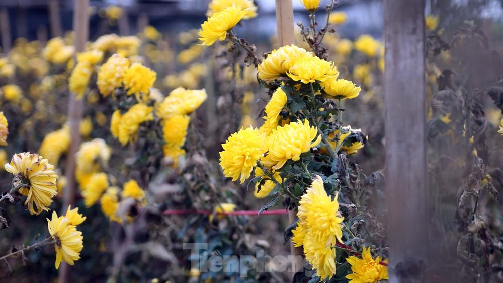 Hoa cúc nhuộm vàng cánh đồng trong nỗi xót xa của người nông dân ảnh 5