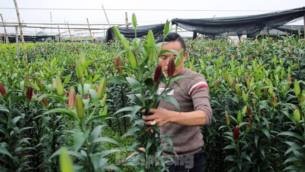 Hoa cúc nhuộm vàng cánh đồng trong nỗi xót xa của người nông dân ảnh 6