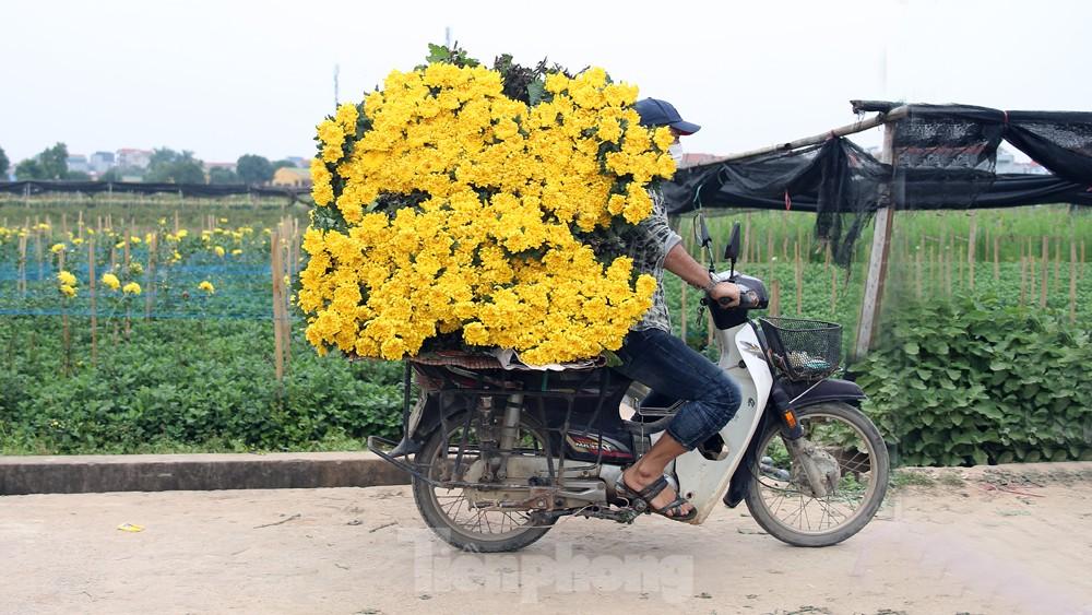 Hoa cúc nhuộm vàng cánh đồng trong nỗi xót xa của người nông dân ảnh 7