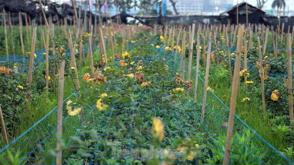 Hoa cúc nhuộm vàng cánh đồng trong nỗi xót xa của người nông dân ảnh 8